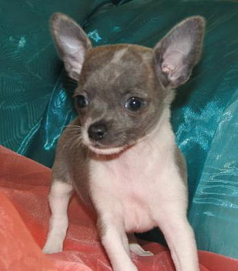 Arkansas Chihuahua Puppies For Sale Chihuahua breeders