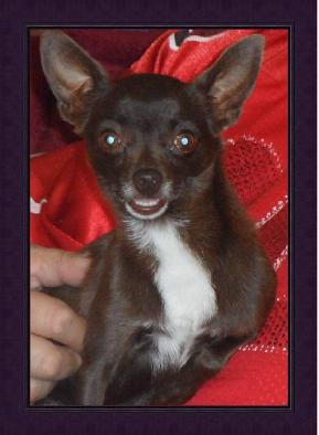 Chihuahua puppies for sale, Chihuahua breeders