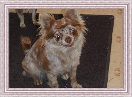 ChiChiBabies Chihuahuas Chihuahua puppies for sale