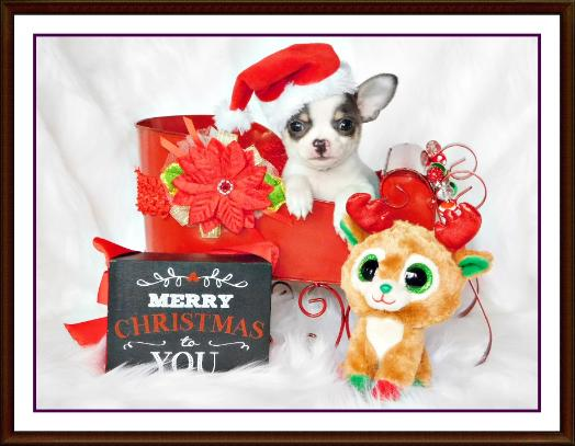 Chihuahua Puppies For Sale Greenwood, Arkansas Chihuahua Breeder