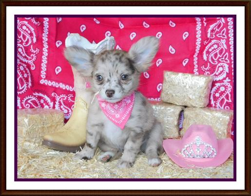 ChiChiBabies Chihuahuas Greenwood, AR Chihuahua Puppies For Sale