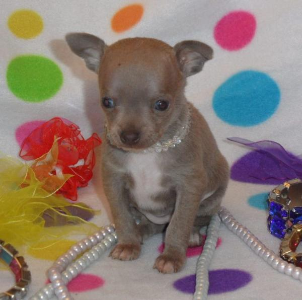 Chihuahua breeders specializing in Chihuahua dogs and puppies
