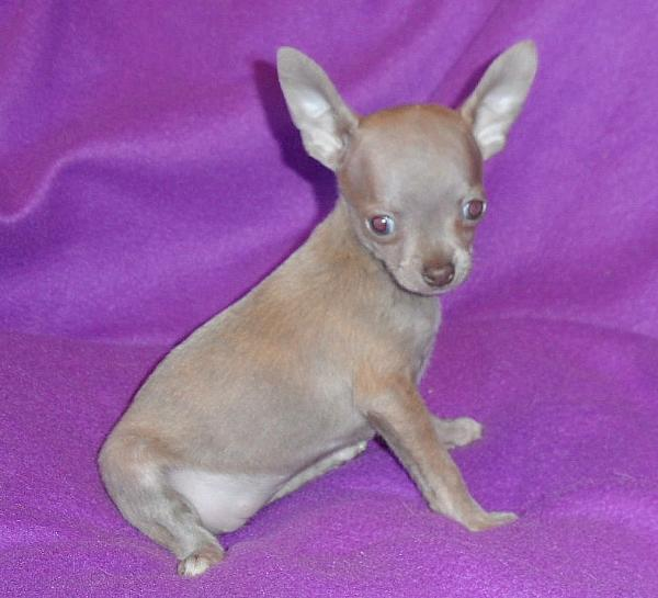 Arkansas Chihuahua puppies for sale