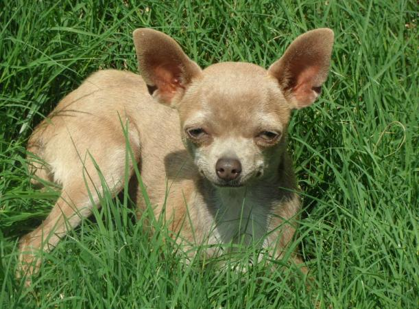 Chihuahua puppies for sale in Arkansas