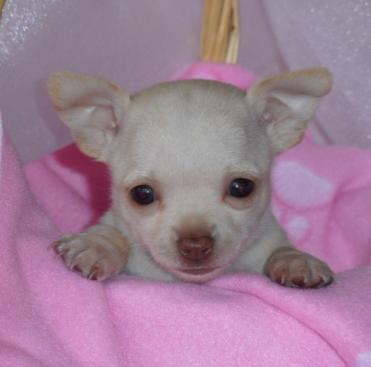 Chi Chi Babies Chihuahuas specializes in all your  Chihuahua Puppies For Sale, Chihuahua Dogs For Sale,  Chihuahuas For Sale, Chihuahua Puppy Breeder, Chihuahua  Dog Breeder, Chihuahua Puppies, Chihuahua Dogs needs and  more.