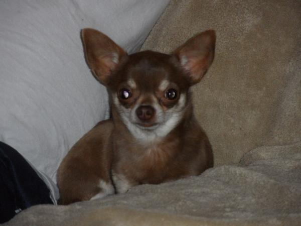 Chihuahua puppies for sale Chihuahua breeders