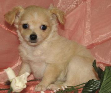 Chihuahua breeders Chihuahuas Chihuahua puppies for sale
